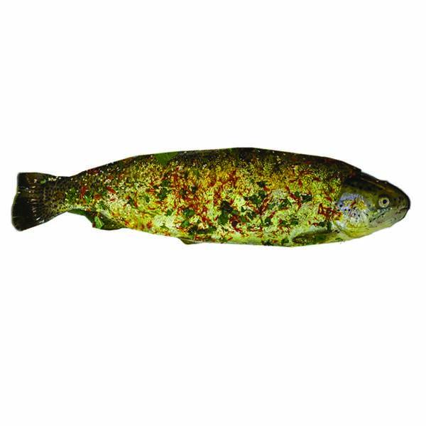 خرید ماهی شکم پر